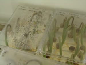 Seed Germination_Chanchal Cabrera